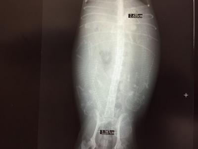 トイプードルレッド妊娠犬のレントゲン写真