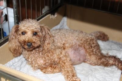 トイプードルレッド妊娠犬画像