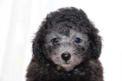 トイプードルシルバー(グレー)の子犬オス、生後7週間画像