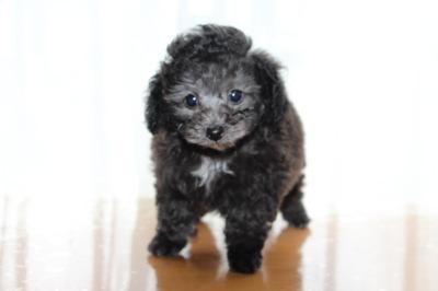 トイプードルシルバー(グレー)の子犬メス、生後7週間画像