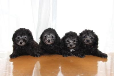 トイプードルシルバー(グレー)の子犬オス2頭メス2頭、生後7週間画像