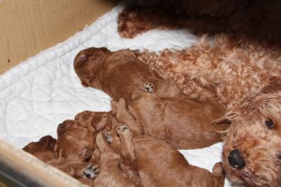 トイプードルレッドの子犬オス2頭メス2頭、生後2週間画像