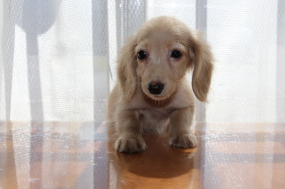 カニンヘンサイズミニチュアダックスピュアクリームの子犬オス、生後3ヶ月画像