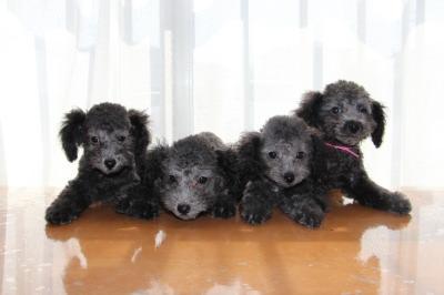 トイプードルシルバー(グレー)の子犬オス2頭メス2頭、生後2ヶ月画像