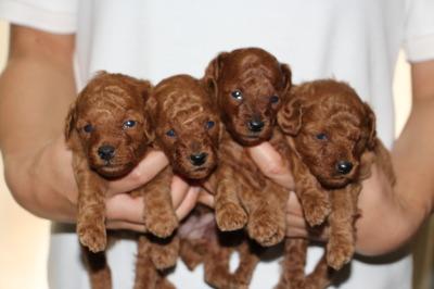 トイプードルレッドの子犬オス2頭メス2頭、生後3週間画像