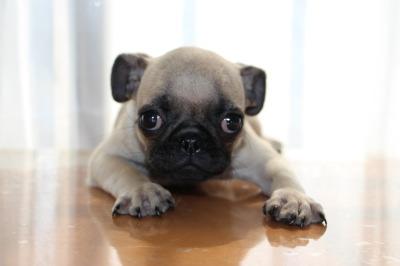 パグフォーンの子犬オス、生後3ヶ月画像