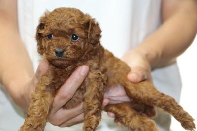 トイプードルレッドの子犬メス、生後4週間画像