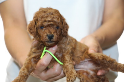 トイプードルレッドの子犬オス、生後4週間画像