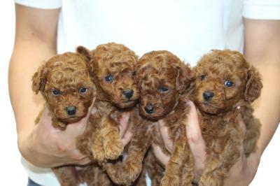 トイプードルレッドの子犬オス2頭メス2頭、生後4週間画像