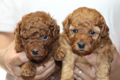 トイプードルレッドの子犬オス1頭メス1頭、生後3週間画像