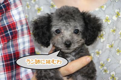 ティーカッププードルシルバーメスの子犬、生後2ヶ月画像