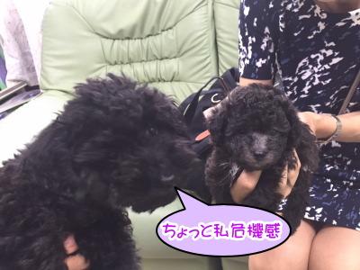 トイプードルブラック成犬メスとティーカッププードルシルバーの子犬メス画像