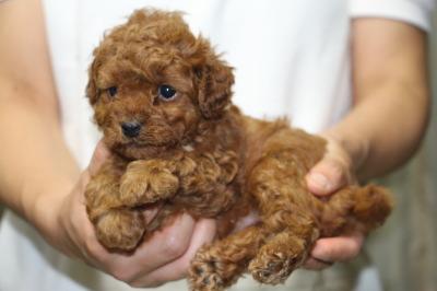トイプードルレッドの子犬メス