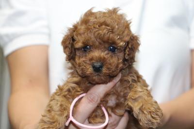 トイプードルレッドの子犬メス、生後5週間画像