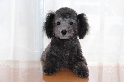 トイプードルシルバー(グレー)の子犬オス、生後2ヶ月半画像