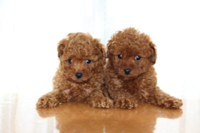トイプードルレッドの子犬オス1頭メス1頭、生後6週間画像