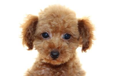 トイプードルレッドの子犬オス、生後2ヶ月半画像