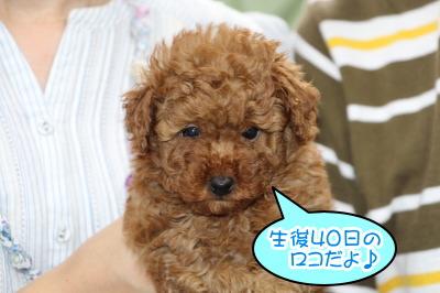 トイプードルレッドの子犬オス、生後40日画像