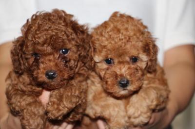 トイプードルレッドの子犬オス1頭メス1頭、生後5週間画像