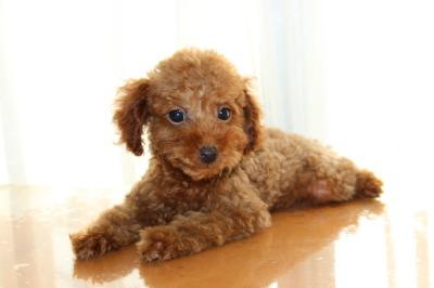 トイプードルレッドの子犬メス、生後2ヶ月半画像