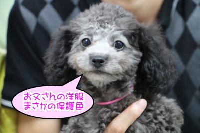 タイニーサイズトイプードルシルバー(グレー)の子犬メス、生後2ヶ月半画像