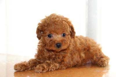 トイプードルレッドの子犬オス1頭、生後7週間画像