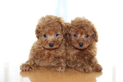 トイプードルレッドの子犬オス1頭メス1頭、生後7週間画像