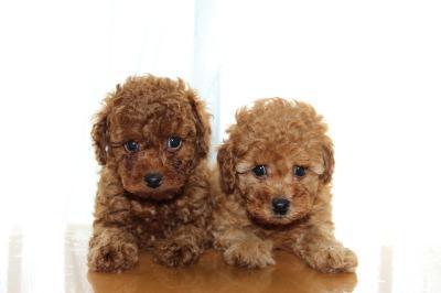 トイプードルの子犬レッドのオスとアプリコットのメス1頭、生後6週間画像