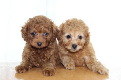 トイプードルの子犬レッドオスとアプリコットメス、生後7週間画像