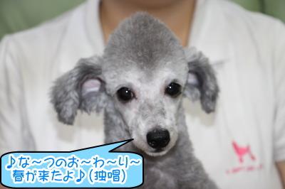 トイプードルプラチナシルバーの子犬オス画像