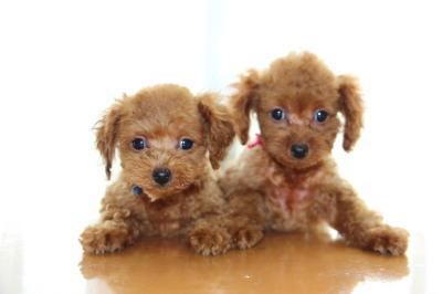 トイプードルレッドの子犬オス1頭メス1頭、生後2ヶ月画像