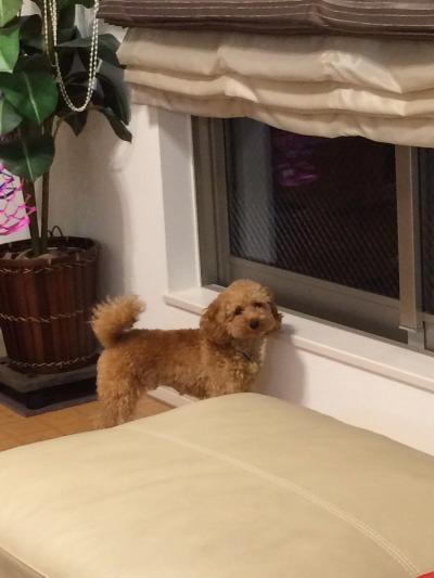 トイプードルレッドの子犬オス、生後9ヶ月画像