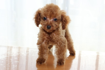 タイニーサイズトイプードルレッドの子犬メス、生後2ヶ月半画像