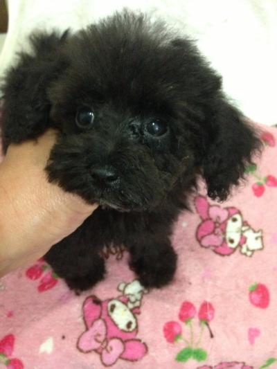 タイニーサイズトイプードルブラック(黒色)の子犬メス、生後2ヶ月画像