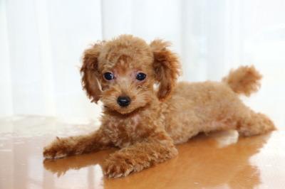 タイニーサイズトイプードルレッドの子犬オス、生後3ヶ月画像