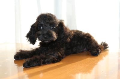 タイニーサイズトイプードルブラック(黒色)メス、生後3ヶ月画像