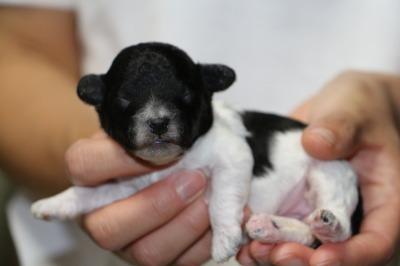 トイプードル白黒パーティーカラーの子犬メス、生後1週間画像
