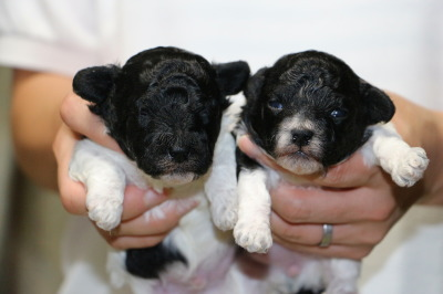 トイプードル白黒パーティーカラーの子犬オスメス、生後2週間画像