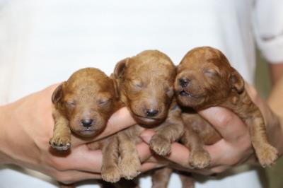 トイプードルレッドの子犬オス2頭メス1頭、生後1週間画像