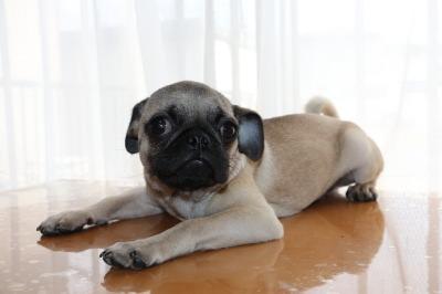 パグフォーンの子犬オス、生後半年画像