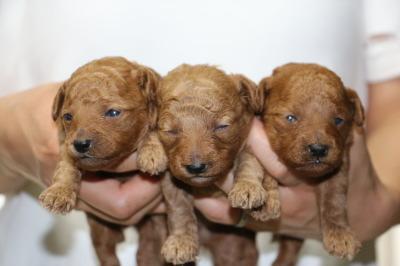 トイプードルレッドの子犬オス2頭メス1頭、生後2週間画像
