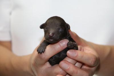 トイプードルブラウンの子犬メス、生後3日画像