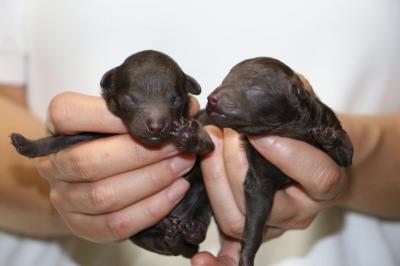トイプードルブラウンの子犬オス1頭メス1頭、生後3日画像