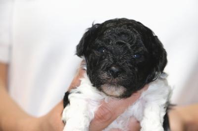 トイプードル白黒パーティーの子犬オス、生後3週間画像