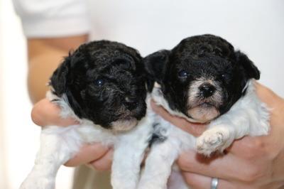 トイプードル白黒パーティーの子犬オス1頭メス1頭、生後3週間画像