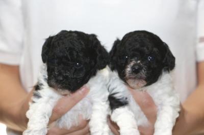 トイプードル白黒パーティーの子犬オス1頭メス1頭、生後4週間画像