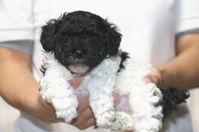 トイプードル白黒パーティーの子犬オス、生後5週間画像