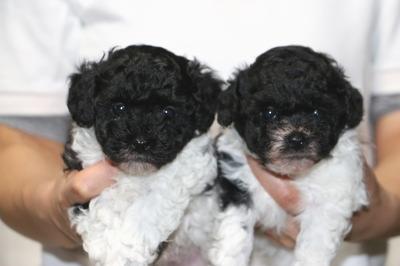 トイプードル白黒パーティーの子犬オス1頭メス1頭、生後5週間画像