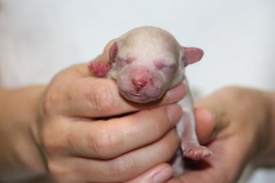 トイプードルホワイト(白色)の子犬メス、生後3日画像