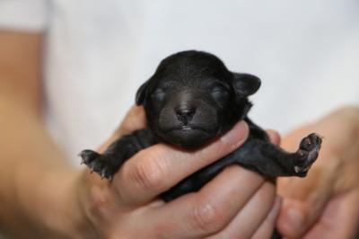 トイプードルシルバー(グレー)の子犬オス、生後3日画像